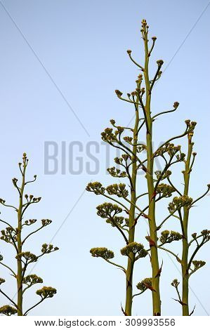 Close-up Of Agave Americana Plants In Bloom, Sentry Plant