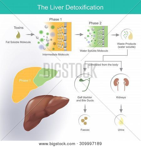 The Liver Produces Bile To Help Break Down And Absorb Fats. Waste Products And Toxins Are Removed Th