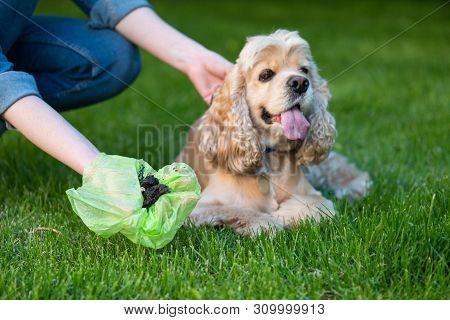 Woman Clean Shit After Cocker Spaniel In Public Park. Picking Up Dog Poop.