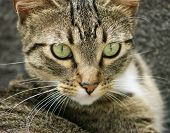 A tabby cat peers at something that interests it poster