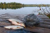 Two whitefishes on the dock side by side with a fishnet and lake on background. poster
