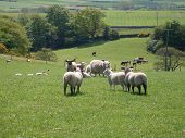 Sheep grazing in rural countryside landscape of North Yorkshire Moors National Park England. poster