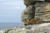pair of rock hyrax (Procavia gen) - south africa mountains inhabitant. Rodent like apperance but related to the ** Note: Slight blurriness, best at smaller sizes poster