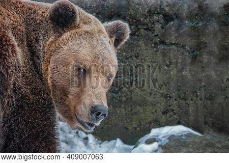 The Head Of A Brown Bear Is Looking At You