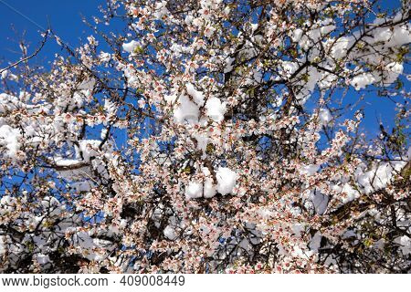 Winter Morning Snow Covered Blooming Almond Tree Branches In Athens, Greece, 17th Of February 2021.