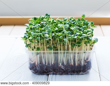 Microgreen Broccoli In A Growing Container On The Wooden Table.. Growing Fresh Micro Greens. Concept