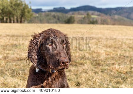 Retriever Puppy Head. Brown Flat Coated Retriever Puppy. Dog's Eyes. Hunting Dog In The Meadow.