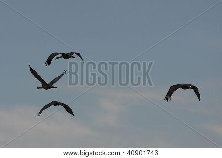 Sandhill Cranes Flying through Jasper-Pulaski County Indiana