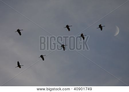 Sandhill Cranes Flying with Moon backdrop and blue sky