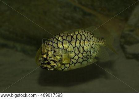 The Pinecone Fish (monocentris Japonica) In Aquarium.
