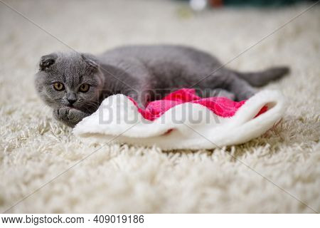 Fluffy Scottish Fold Kitten Lies On A Fluffy Beige Carpet And Plays With Traditional Red Fluffy Chri