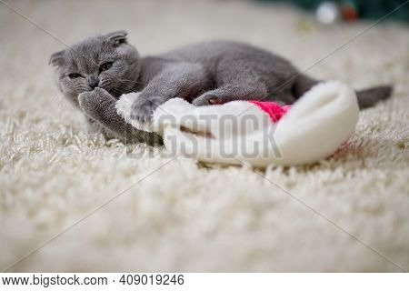 A Beautiful Fluffy Scottish Fold Kitten Lies On A Fluffy Beige Carpet And Plays With Traditional Red