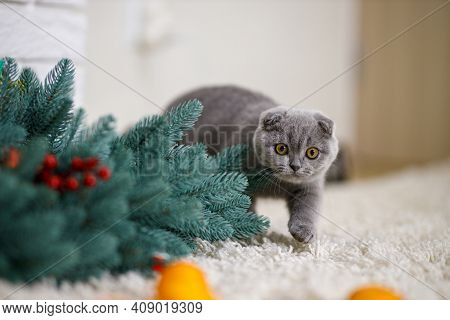 Fluffy Scottish Fold Kitten Lies On A Fluffy Beige Carpet And Plays With Orange Tangerines. Holidays