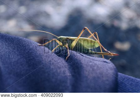 Close Up View Of Green Large Locust Sitting On Dark Clothes