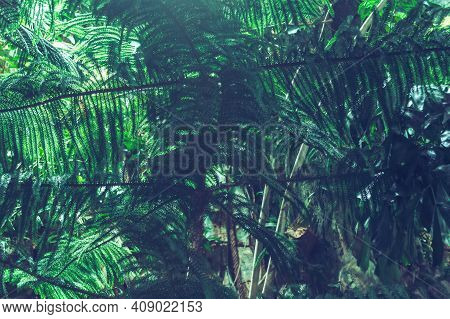 Close Up View Of Growing Branches Of Norfolk Island Pine Or Araucaria Heterophylla