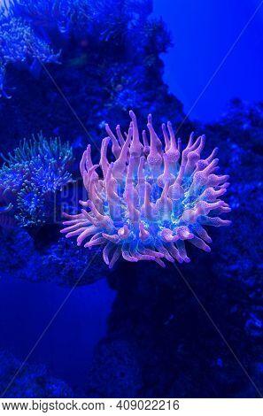 Close Up View Of Underwater Rose Bubble Tip Anemone (entacmaea Quadricolor)