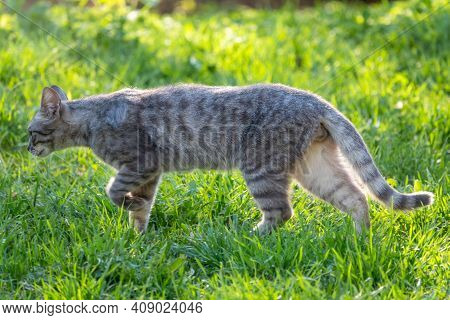 A Stray Cat Walks Along The Green Lawn In The Beautiful Light Of The Sunset. Stray Cat Male Gray Col