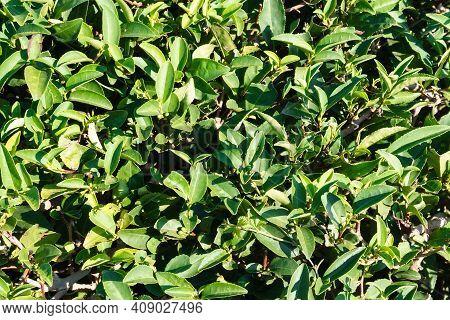 Green Tea On A Sunny Day, Tea Plantation Natural Background.