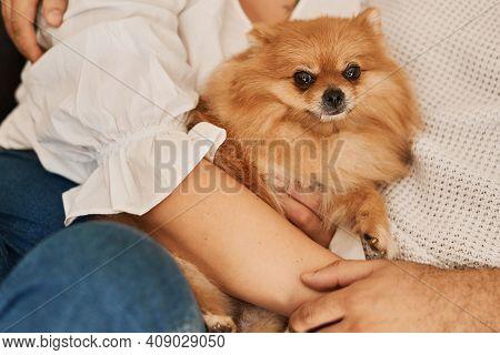 Couple Cuddling A Pomeranian Dog. Pomeranian Spitz