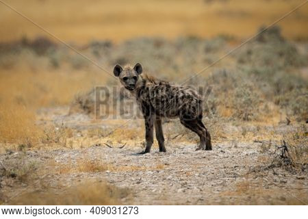 Spotted Hyena Stands In Profile Turning Head