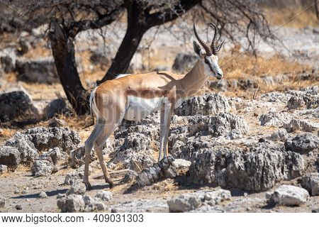 Springbok Stands By Tree On Rocky Slope