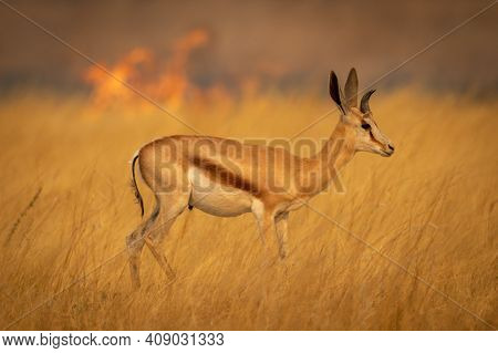 Springbok Stands In Grass With Flames Behind