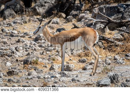 Springbok Stands In Profile On Rocky Ground