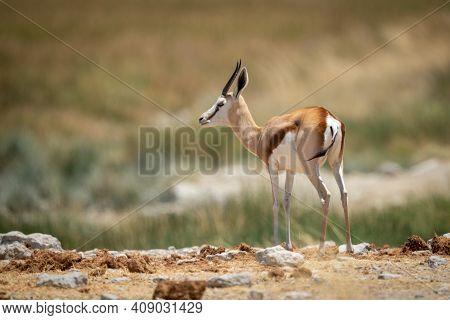 Springbok Stands Near Reeds At Rocky Waterhole