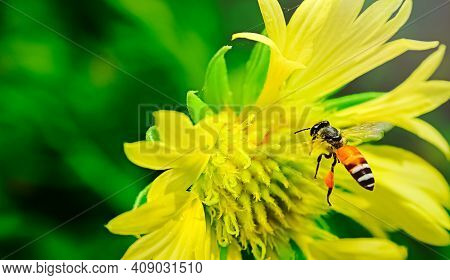 Carpenter Bee In Flight. He Is Busy Chasing Away Other Bugs In His Airspace. With Yellow Flowers Hig