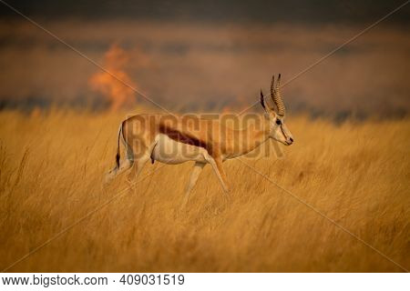 Springbok Walks In Grass With Flames Behind