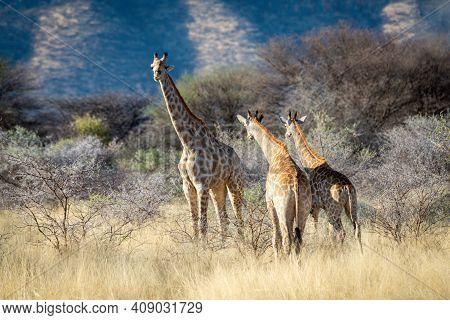 Three Southern Giraffe Stand Among Sunlit Bushes