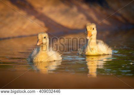 Two Goslings Swim Side-by-side In Artificial Pond