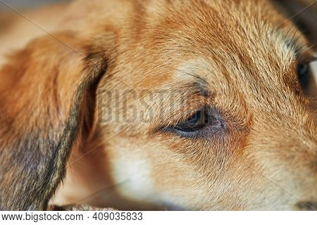 Cute Red-haired Dog With Hanging Ears Close-up