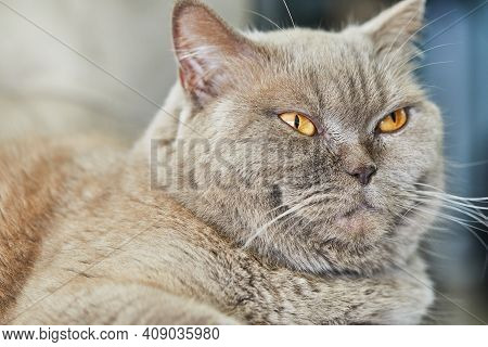British Gray Cat Is Sitting On The Couch, Close-up