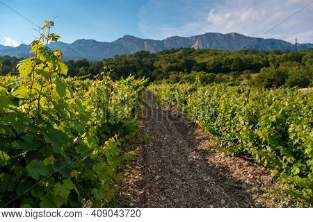 Winery Plantations In Long Rows On The Mountains And Hills