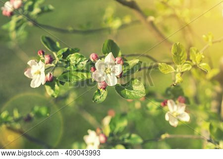 Beautiful Blooming Apple Trees In Spring Park Close Up. Apple Trees Flowers. The Seed-bearing Part O