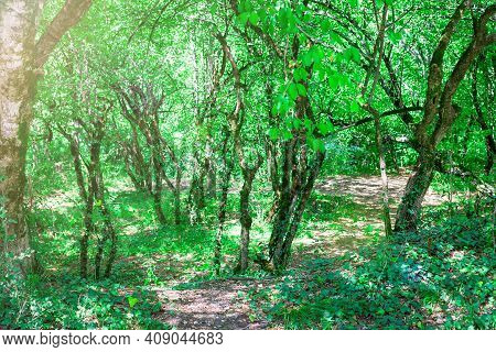 Selective Focus Of Trees In Forest Thicket On Sunny Summer Day. Path Goes Into Forest. Toned Photo W