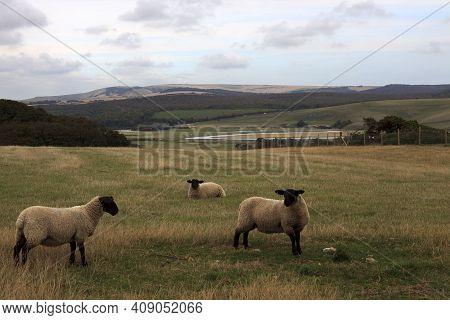 Sussex (england), Uk - August 23, 2015: Sheeps Near Sussex Coast, England, United Kingdom.