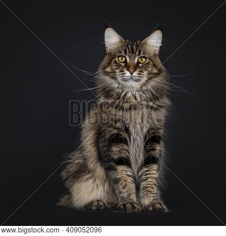 Impressive Young Adult Black Tabby Maine Coon Cat, Sitting Facing Front. Looking Straight To Camera