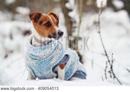 Small Jack Russell Terrier Sitting On Snow Covered Field Wearing Knitted White Blue Jumper, Looking
