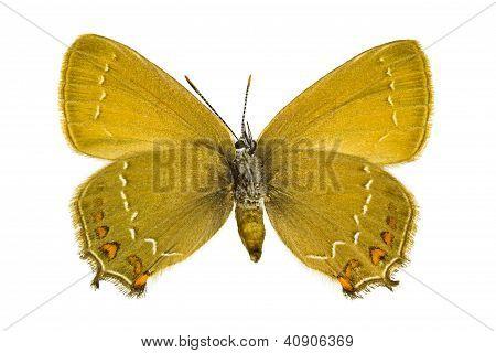 Satyrium Ilicis (Ilex-Zipfelfalter)