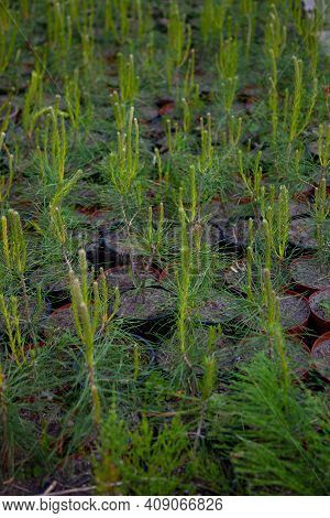 A Nursery For Trees. Christmas Tree Made Of Cones. Little Christmas Trees Shop. Grow A Coniferous Tr