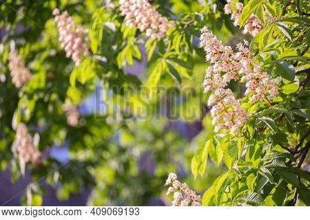 Aesculus Hippocastanum, Also Called As Buckeye And Horse Chestnut Blossoming In The Spring In Ukrain