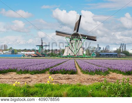 Traditional Dutch Windmills Of Zaanse Schans Over Water With Hyacinth Flowers, Netherlands