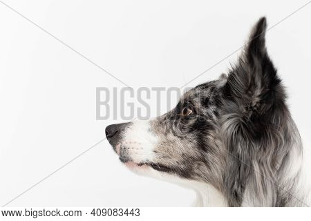 You Can See The Head Of A Border Collie With A Pedigree At A Close Up. Purebred Dog With Proven Pedi