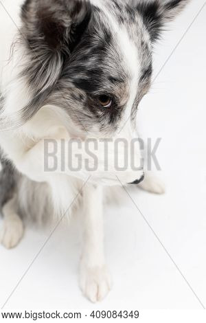 The Purebred Border Collie Dog Is Embarrassed And Therefore Has A Paw On Its Nose. Purebred Dog With