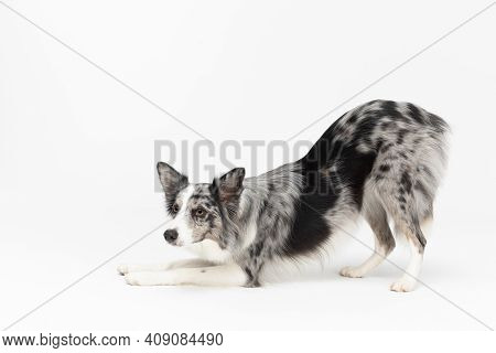 A Well-trained Dog Can Even Bow. Border Collie Dog. Purebred Dog With Proven Pedigree. Intelligent H