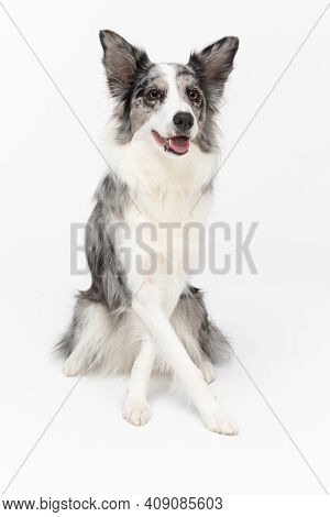 A Masterfully Trained Dog Sits On Its Butt And Has Its Front Paws Crossed. Border Collie Dog. Purebr