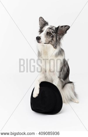 A Well-trained Dog Sits On Its Butt And Holds A Black Hat With Its Front Paw. Border Collie Dog. A P