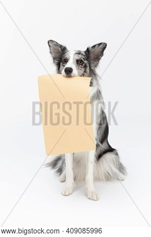 A Well-trained Dog Sits On Its Butt And Holds A Gray Envelope With A Fresh Message In Its Mouth. Bor